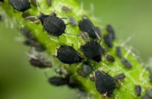 Schwarze Blattläuse auf einem Stiel - (Foto: iStockphoto/Chris Mansfield)