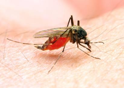Mücke beim Stechen
