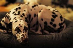 Dalmatiner liegt auf einem Kissen - (Foto: Martin Goldmann)