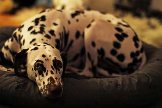 Dalmatiner liegt auf einem Kissen