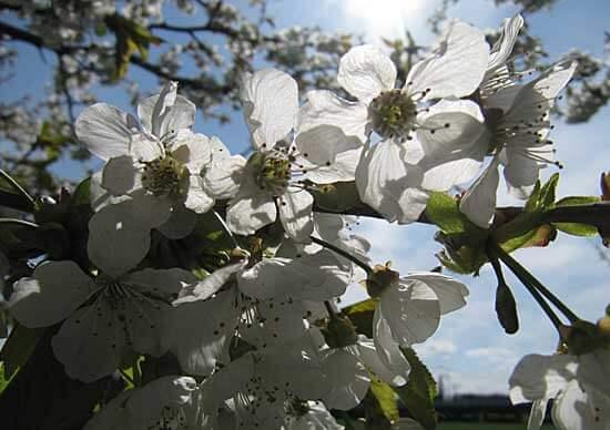 Apfelblueten im Gegenlicht - (Foto: Martin Goldmann)