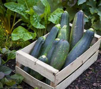 Zucchini in Kiste - (Foto: iStockphoto/Jamie Farrant)