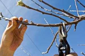 Schneiden eines Astes am Apfelbaum - (Foto: iStockphoto/MireXa)