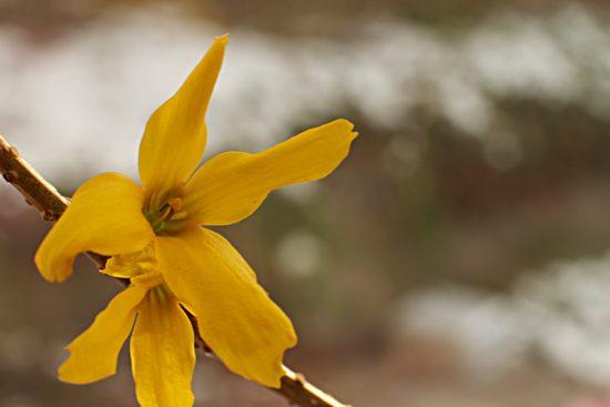Eine gelbe Forsysthien-Blüte - (Foto: Martin Goldmann)