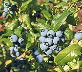 Dehner Heidelbeere Hortblue Petite, mittelgroße süsse Früchte, ca. 50-60 cm, 3 l Topf,...