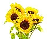 Sonnenblumenkerne, 20 Stück (Helianthus annus), organisch, nicht GMO, für den Garten,...