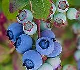 Dehner Heidelbeere Bluecrop, aromatische dickbauchige Früchte, ca. 55-65 cm, 3 l Topf,...
