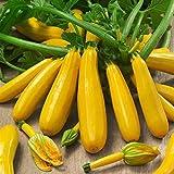 Soteer Garten - 10 Stück Gelb Zucchetti Samen, Squash Zucchini 'Goldberry F1' Bio Gemüsesamen...