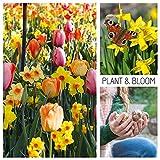Plant & Bloom Tulpenzwiebeln aus Holland, 30 Zwiebeln - Tulpen & Narzissen - Einfach zu züchten -...