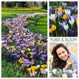 Plant & Bloom Crocus - Krokus Blumenzwiebeln aus Holland, 60 Zwiebeln - Crocus Mix - Einfach zu...