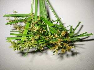 zimmerpflanzen zyperngras falscher papyrus richtig vermehren. Black Bedroom Furniture Sets. Home Design Ideas