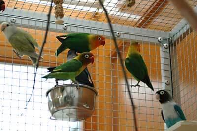 Agaporniden in einem Vogelkäfig