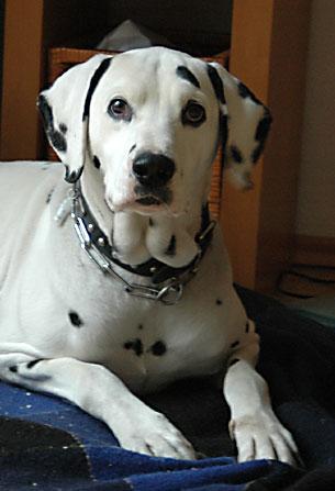 Ein Dalmatiner