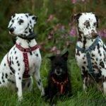 Zwei Dalmatiner und ein kleiner Mischling machen Sitz