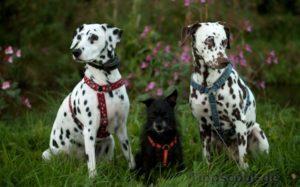 Zwei Dalmatiner und ein kleiner Mischling machen Sitz - (Foto: Martin Goldmann)