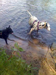 Hunde beim Baden an seichter Uferstelle - (Foto: Martin Goldmann)