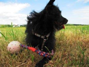 Hund liegt mit seinem Spielzeug auf der Wiese - (Foto: Martin Goldmann)