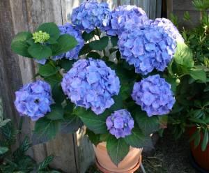 Blaue Hortensien Werden Rosa Was Tun Tippscout De