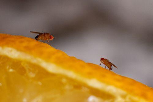 fruchtfliegenfalle selber machen fruchtfliegen loswerden. Black Bedroom Furniture Sets. Home Design Ideas