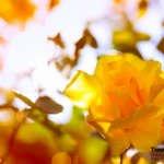Gelbe Rose im Gegenlicht
