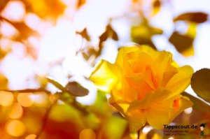 Gelbe Rose im Gegenlicht - (Foto: Martin Goldmann)