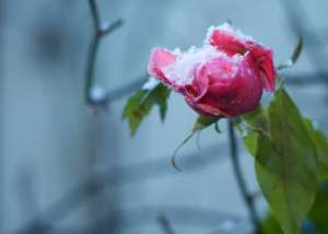 Eine Rose mit Schnee im Spätherbst - (Foto: Martin Goldmann)