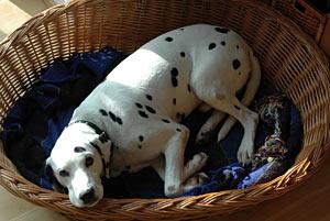 Wenn ein Hund Angst hat, zieht er sich gerne an einen vertrauten Ort zurück - (Foto: Martin Goldmann)