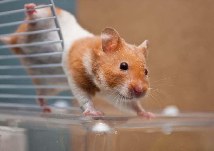 Hamster beim Spielen - (Foto: iStockphoto/trgowanlock)