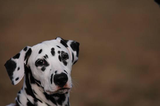 Dalmatiner wartet auf Futter - (Foto: Martin Goldmann)