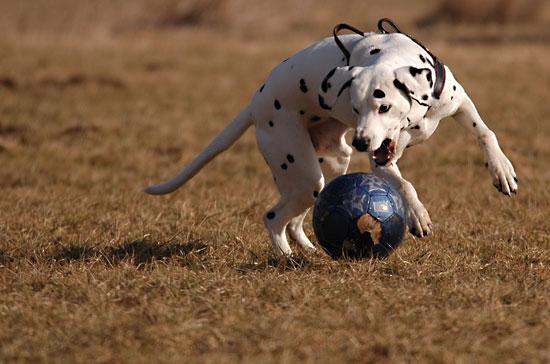 Dalmatiner spielt mit einem Fussball - (Foto: Martin Goldmann)