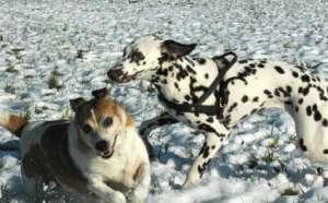 Zwei Hunde spielen im Schnee - (Foto: Martin Goldmann)