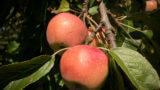 Äpfel an einem Baum