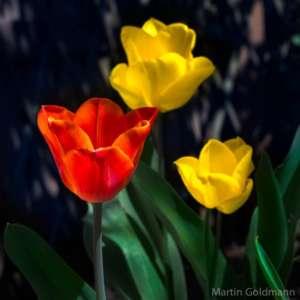 Tulpen - (Foto: Martin Goldmann)