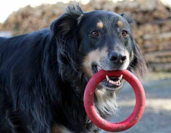 Hund mit Spielzeug - (Foto: Markus Schraudolph)