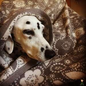 Dalmatiner-Dame Bienchen ist auf dem Bild kerngesund. Sie liegt einfach gern unter Decken :)