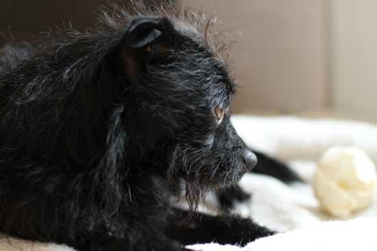 Kleiner schwarzer Hund auf seinem Platz - (Foto: Martin Goldmann)