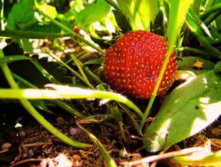 Erdbeere im Beet - (Foto: Martin Goldmann)