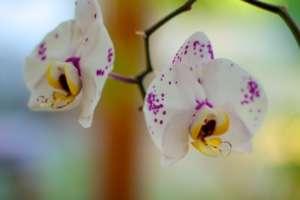 Weiße Orchideenblüten mit lila Zeichnung - (Foto: Martin Goldmann)