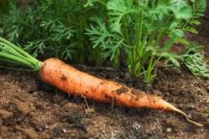 Karotte im Garten