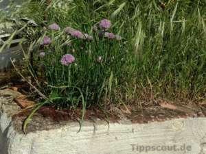 Schnittlauchblüten aus der Ferne - (Foto: Martin Goldmann)