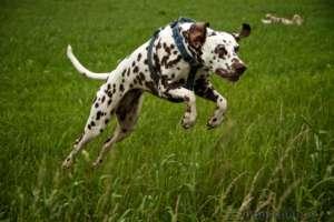 Hund fotografieren: Dalmatiner springt über einen Graben