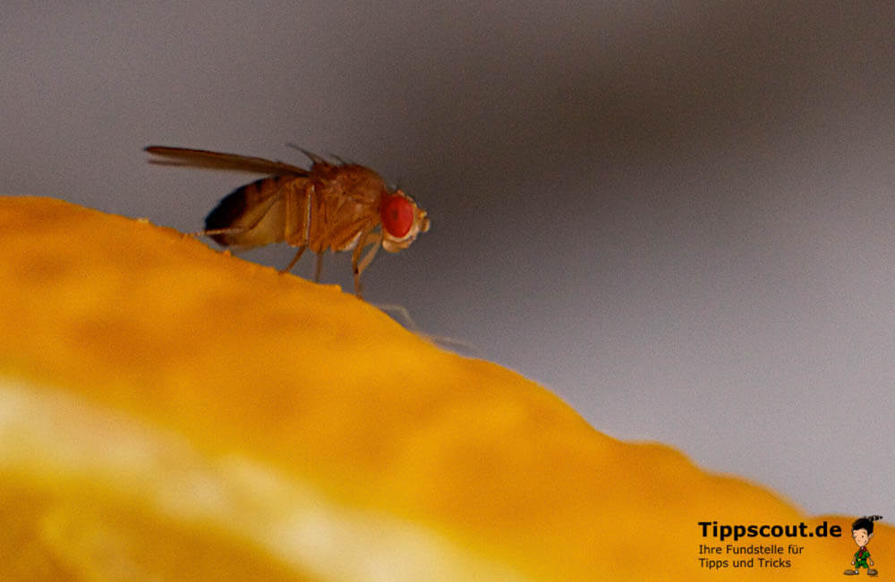 Eine Fruchtfliege, auch Obst- oder Taufliege genannt - (Foto: Martin Goldmann)