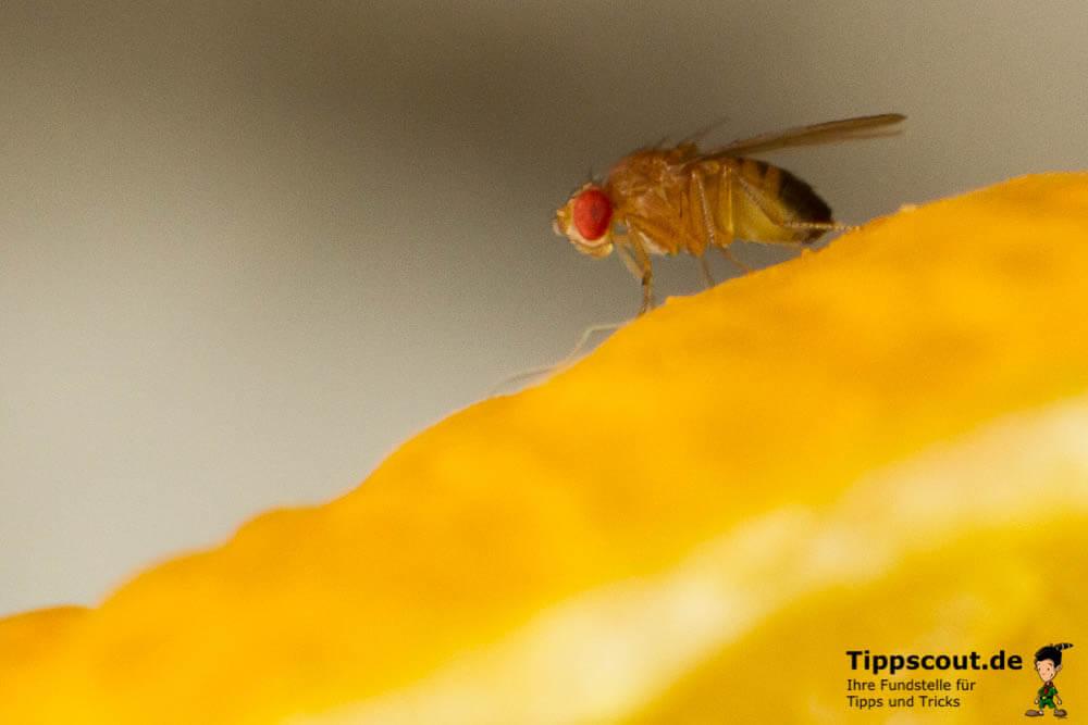 Taufliege auf Obst - (Foto: Martin Goldmann)